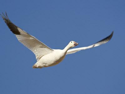 https://imgc.allpostersimages.com/img/posters/snow-goose-in-flight-bosque-del-apache-national-wildlife-refuge-new-mexico-usa_u-L-P7NM800.jpg?p=0