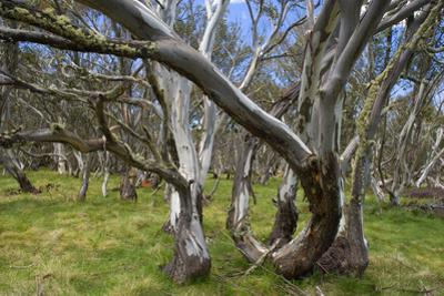 Snow Gums Forest of Snow Gums Growing in Victoria's Highcountry