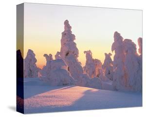 Snow Laden Conifers