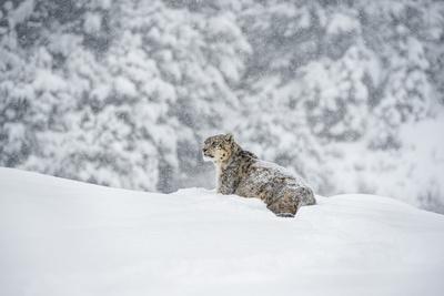 https://imgc.allpostersimages.com/img/posters/snow-leopard-panthera-india-montana-united-states-of-america-north-america_u-L-PWFQLQ0.jpg?p=0