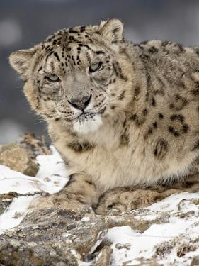 Snow Leopard (Uncia Uncia) in the Snow, in Captivity, Near Bozeman, Montana, USA