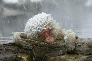 Snow Monkey in Snow Storm