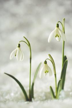 Snowdrop Three Flowers in Snow