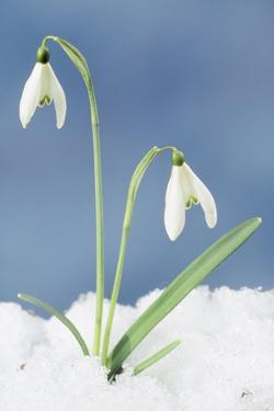 Snowdrop Two Flowers in Snow