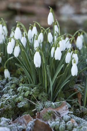 https://imgc.allpostersimages.com/img/posters/snowdrops-in-frost-cotswolds-gloucestershire-england-united-kingdom-europe_u-L-PWFG7J0.jpg?p=0