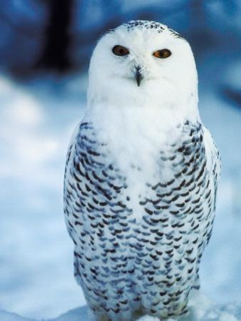 Snowy Owl Standing in Snow