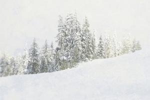 Snowy White Forest