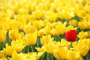 Yellow Tulips and One Red by Sofiaworld