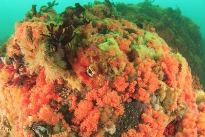 https://imgc.allpostersimages.com/img/posters/soft-corals-alaska-inside-passage_u-L-Q1CZROZ0.jpg?p=0