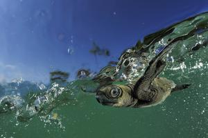 Baby Olive Ridley Sea Turtle (Lepidochelys Olivacea) Swims from Where it Hatched, Costa Rica by Solvin Zankl