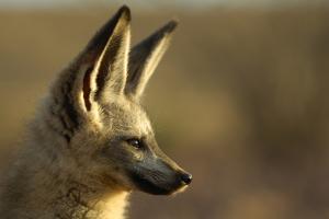Bat-Eared Fox (Otocyon Megalotis) Portrait, Namib-Naukluft National Park, Namib Desert, Namibia by Solvin Zankl