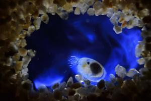 Bioluminescent Sea-fireflies producing a bright blue light. Tomonoura, Inland Sea, Japan by Solvin Zankl