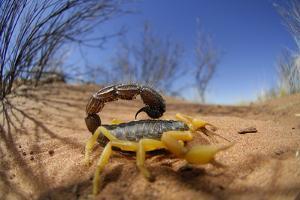 Desert Scorpion (Parabuthus Villosus) Namib Desert, Namibia by Solvin Zankl