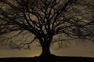 English Oak Tree (Quercus Robur) in Moonlight, Nauroth, Germany, February by Solvin Zankl