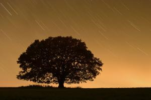 English Oak Tree (Quercus Robur) Silhouetted Against Orange Sky with Star Trails by Solvin Zankl