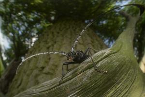Great Capricorn Beetle (Cerambyx Cerdo) by Solvin Zankl