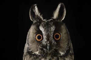 Long Eared Owl (Asio Otus) at Night, Perched on Oak Tree Snag by Solvin Zankl