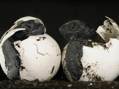 Olive Ridley Sea Turtles Hatching (Lepidochelys Olivacea), Costa Rica by Solvin Zankl