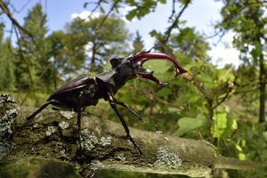 Stag Beetle (Lucanus Cervus) Male on Oak Tree. Elbe, Germany, June by Solvin Zankl