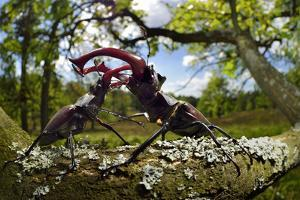 Stag beetle (Lucanus cervus) males fighting on oak tree branch, Elbe, Germany, June by Solvin Zankl