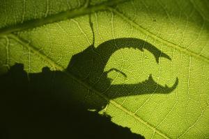 Stag Beetle (Lucanus Cervus) Silhouetted Against Oak Tree Leaf. Elbe, Germany, June by Solvin Zankl