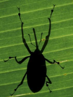 Weevil Silhouette Through Leaf, Sulawesi, Indonesia by Solvin Zankl