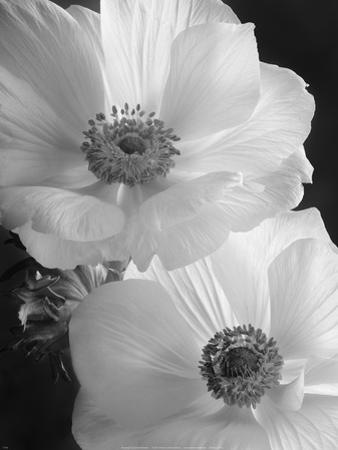 Anemone II by Sondra Wampler