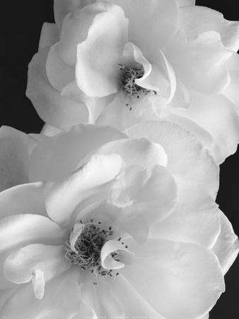 Iceberg Roses II by Sondra Wampler