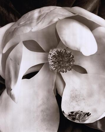 Magnolia No. 3 by Sondra Wampler