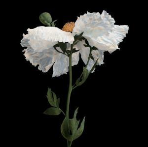 Matilija Poppy I by Sondra Wampler