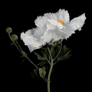 Matilija Poppy II by Sondra Wampler