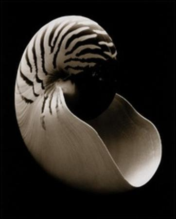 Nautilus (small) by Sondra Wampler