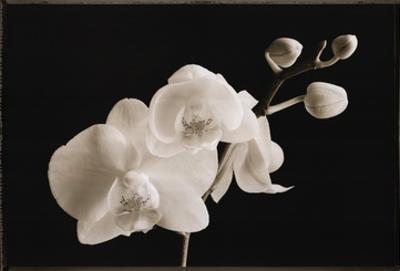 Phalaenopsis by Sondra Wampler