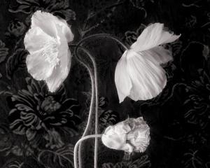 Poppy III by Sondra Wampler
