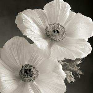 Poppy Study I by Sondra Wampler