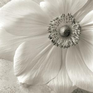Poppy Study II by Sondra Wampler