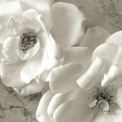 Poppy Study III by Sondra Wampler