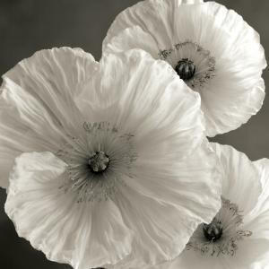 Poppy Study IV by Sondra Wampler