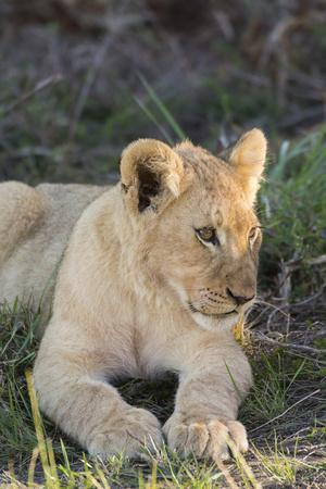 https://imgc.allpostersimages.com/img/posters/south-africa-eastern-cape-east-london-inkwenkwezi-game-reserve-lion-cub_u-L-Q12TA810.jpg?p=0