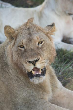 https://imgc.allpostersimages.com/img/posters/south-africa-eastern-cape-east-london-inkwenkwezi-game-reserve-young-male-lion_u-L-Q12TA9O0.jpg?artPerspective=n