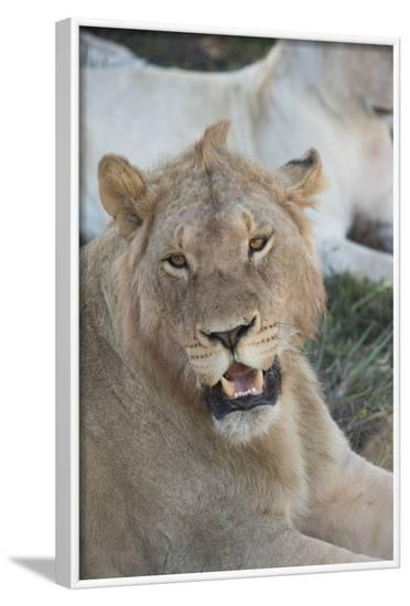 South Africa, Eastern Cape, East London. Inkwenkwezi Game Reserve. Young Male Lion-Cindy Miller Hopkins-Framed Photographic Print