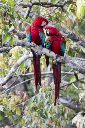 https://imgc.allpostersimages.com/img/posters/south-america-brazil-mato-grosso-do-sul-jardim-a-pair-of-red-and-green-macaws-together_u-L-Q1CZM6V0.jpg?p=0