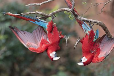 https://imgc.allpostersimages.com/img/posters/south-america-brazil-mato-grosso-do-sul-jardim-a-pair-of-red-and-green-macaws-together_u-L-Q1CZOPF0.jpg?p=0