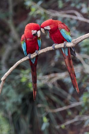 https://imgc.allpostersimages.com/img/posters/south-america-brazil-mato-grosso-do-sul-jardim-a-pair-of-red-and-green-macaws-together_u-L-Q1CZPED0.jpg?artPerspective=n
