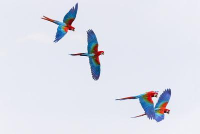 https://imgc.allpostersimages.com/img/posters/south-america-brazil-mato-grosso-do-sul-jardim-red-and-green-macaws-flying-in-the-sinkhole_u-L-Q1CZMMO0.jpg?p=0