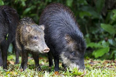 https://imgc.allpostersimages.com/img/posters/south-america-brazil-mato-grosso-do-sul-white-lipped-peccary-and-young_u-L-Q1CZOFY0.jpg?p=0