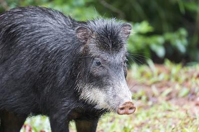 https://imgc.allpostersimages.com/img/posters/south-america-brazil-mato-grosso-do-sul-white-lipped-peccary_u-L-Q1CZM800.jpg?p=0