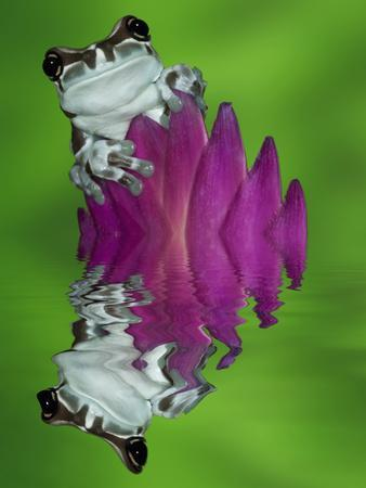 https://imgc.allpostersimages.com/img/posters/south-america-panama-amazon-milk-frog-reflects-in-water_u-L-Q1D0DWK0.jpg?artPerspective=n