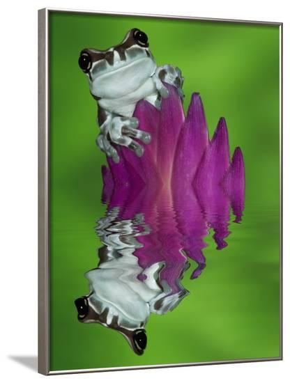 South America, Panama. Amazon milk frog reflects in water.-Jaynes Gallery-Framed Photographic Print