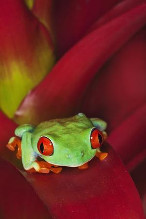 https://imgc.allpostersimages.com/img/posters/south-america-panama-red-eyed-tree-frog-on-bromeliad-flower_u-L-Q1D0CGT0.jpg?p=0